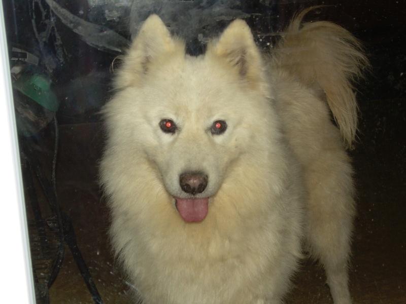Inouk, samoyède femelle de 9 ans PAR (81) Inouk_20