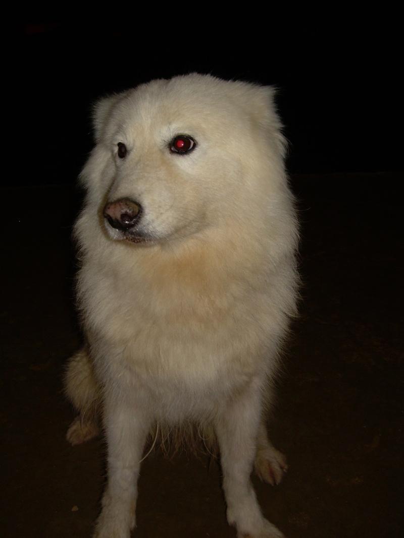 Inouk, samoyède femelle de 9 ans PAR (81) Inouk_21