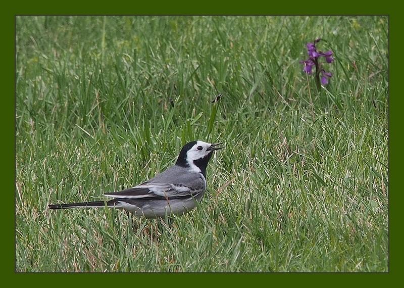 La bergeronette grise ..... de notre jardin P5080011