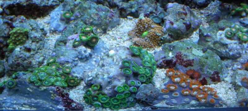 Photos boutures de Zoanthus (coraux mous) Imgp1422