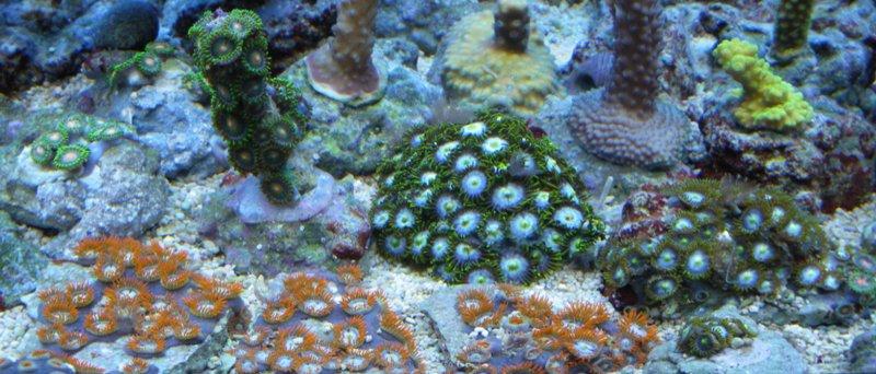 Photos boutures de Zoanthus (coraux mous) Imgp1423