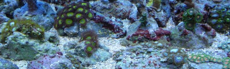 Photos boutures de Zoanthus (coraux mous) Imgp1424