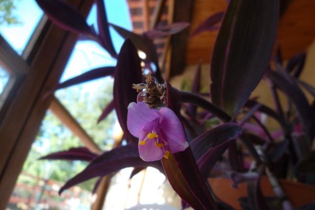 Tradescantia pallida (= Setcreasea purpurea) - misère pourpre Trades13