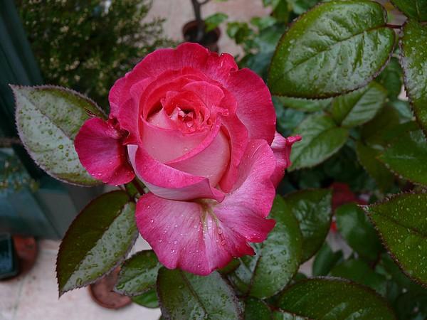 "Rosa ""Pascal Sevran"" P1240913"