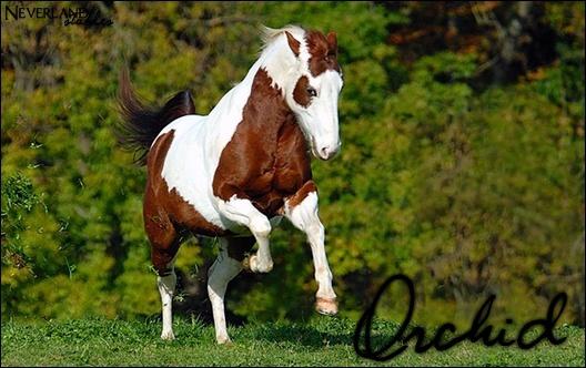 Chevaux de propriétaires [11 chevaux] Orchid11