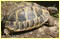 Eurotestudo hermanni : la tortue d'Hermann