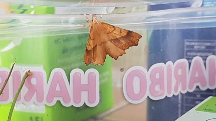 chenille devenue papillon [Ennomos quercinaria] Ennomo10