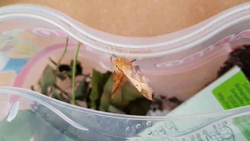 chenille devenue papillon [Ennomos quercinaria] Ennomo11