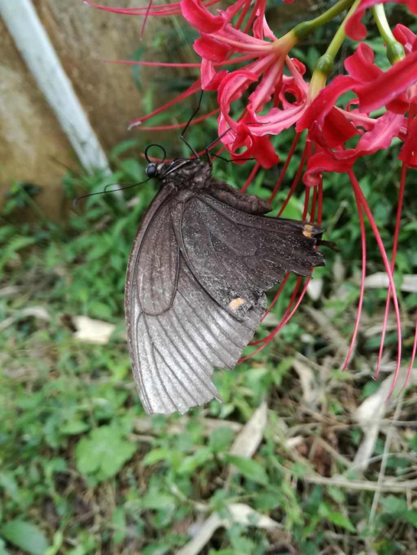 Papilio maackii Img_2010