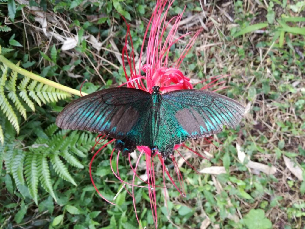 Papilio maackii Img_2011