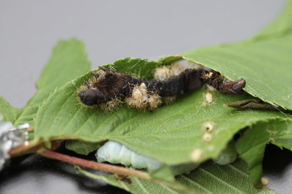 Les parasitoides de lépidoptères Img_2515