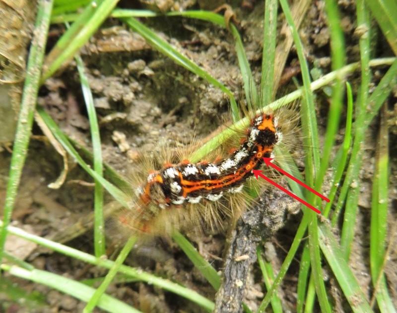 [Euproctis similis] Chenille du Cul-brun Montag10