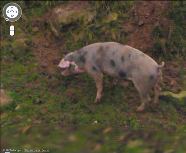 STREET VIEW : Les animaux Cochon10