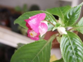 impatiens tuberosa Pict0429