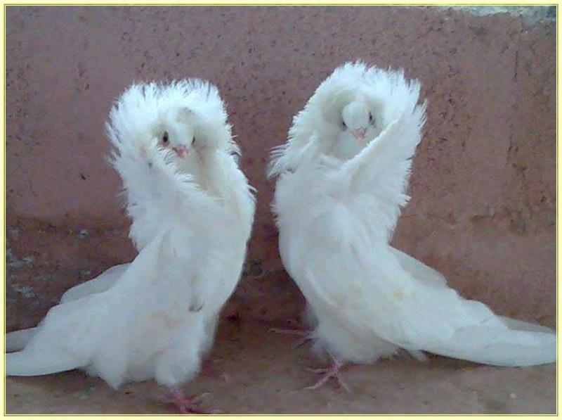 E'Sethi Accuente, le chaton voyageur - Page 10 Pigeon10