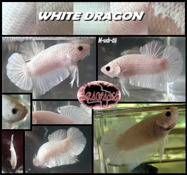Plakats dragons...3 couleurs M_wdr_12