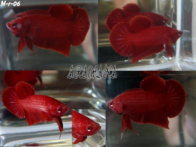 Red red red Male_r14