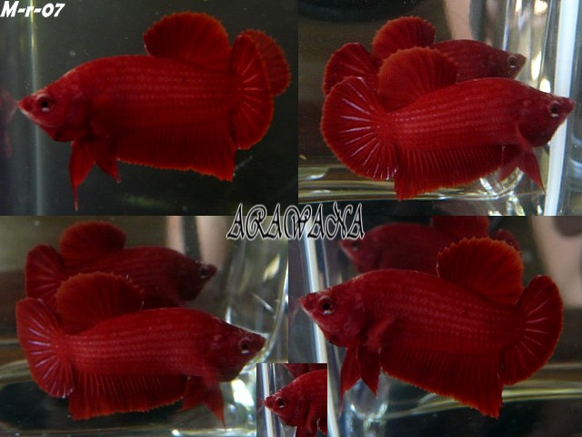 Red red red Male_r15