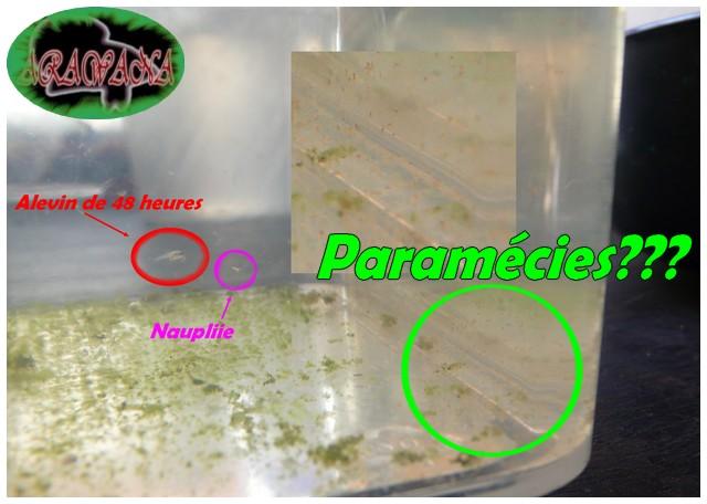 """Paramécies au """"betta carotène"""" Parama10"""