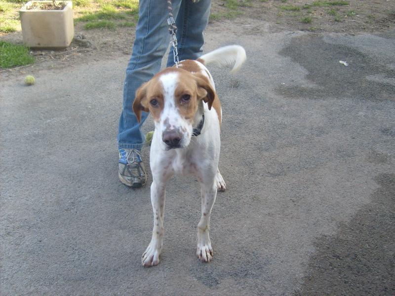 KINDER, type beagle mâle, 3 ans (17) 01810