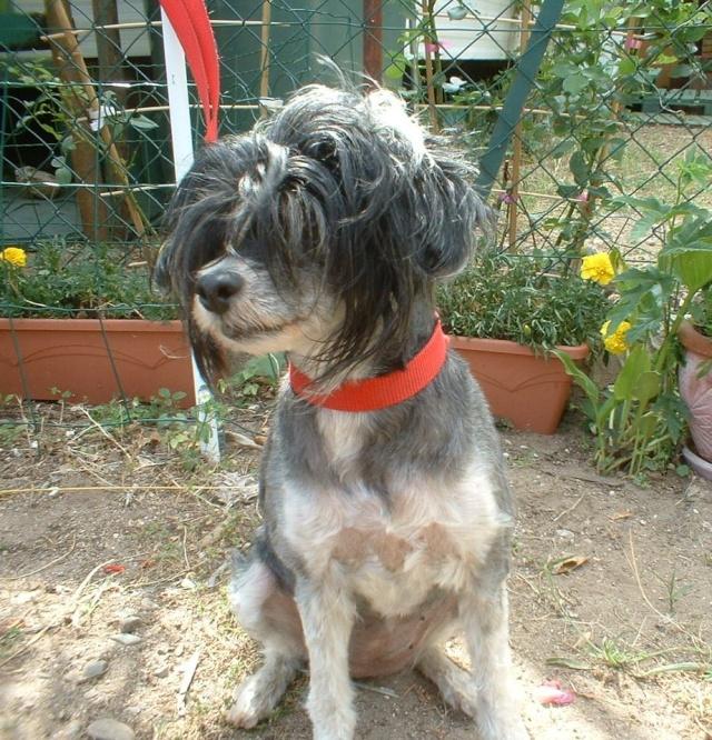 UTOPIA ravissante chienne chinoise à poils vaporeux Utopia10