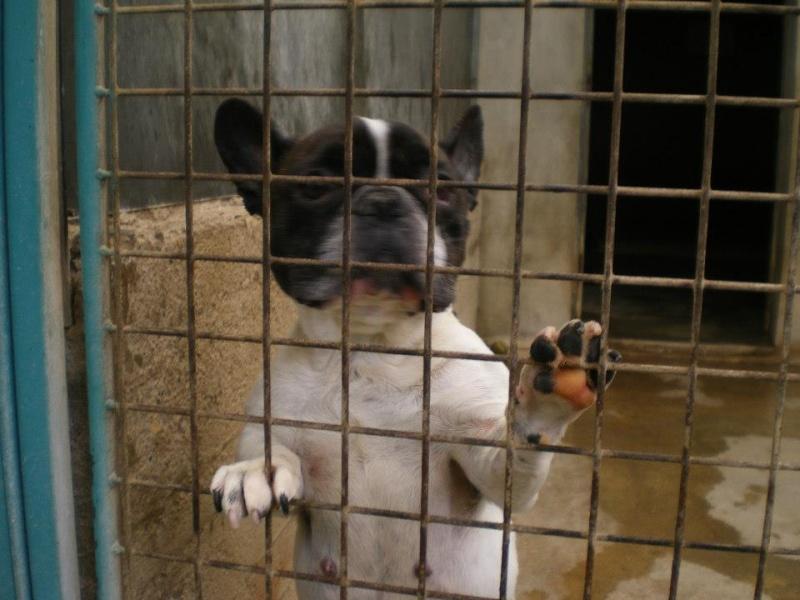 bouledogue français femelle née en 2008 à adopter à la SPA de Dompierre sur veyle Bouled10