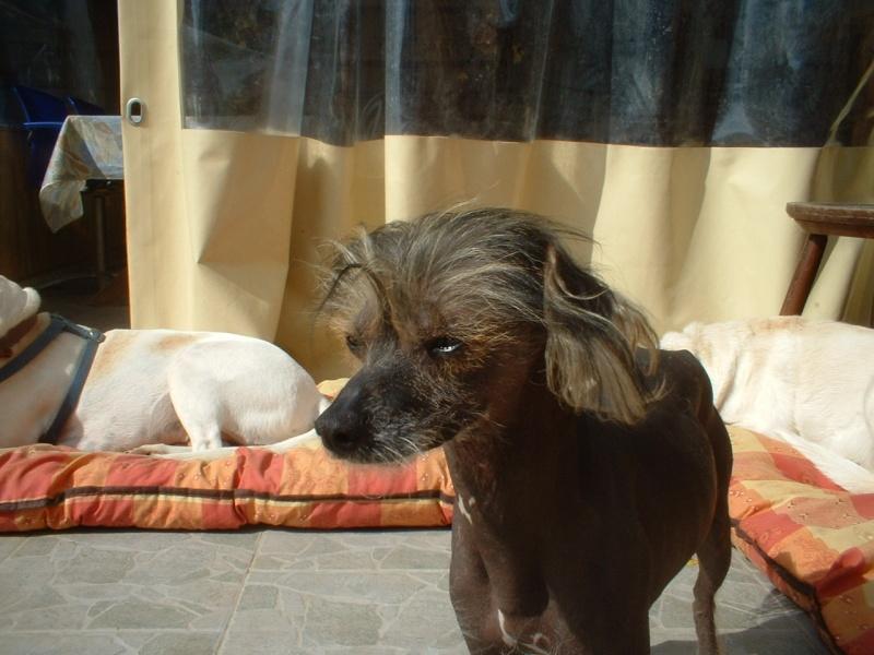 Sos chiens nus en détresse !! Chinoi11