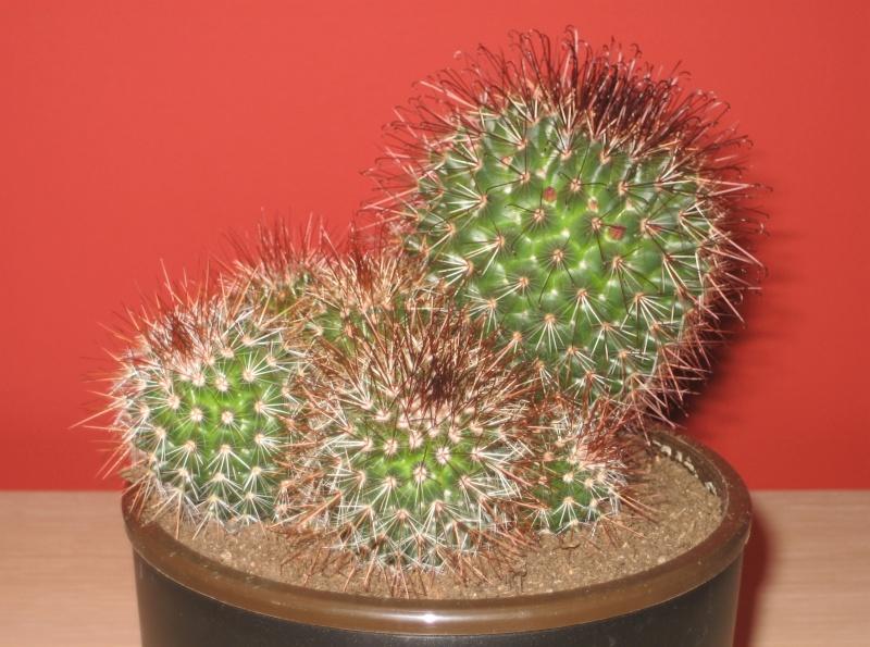 Quelques cactus à identifier SVP - Merci Img_0515