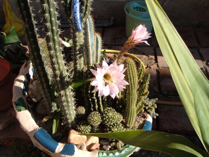 """mes""""petits"""" cactus - Page 2 Dscf0510"""