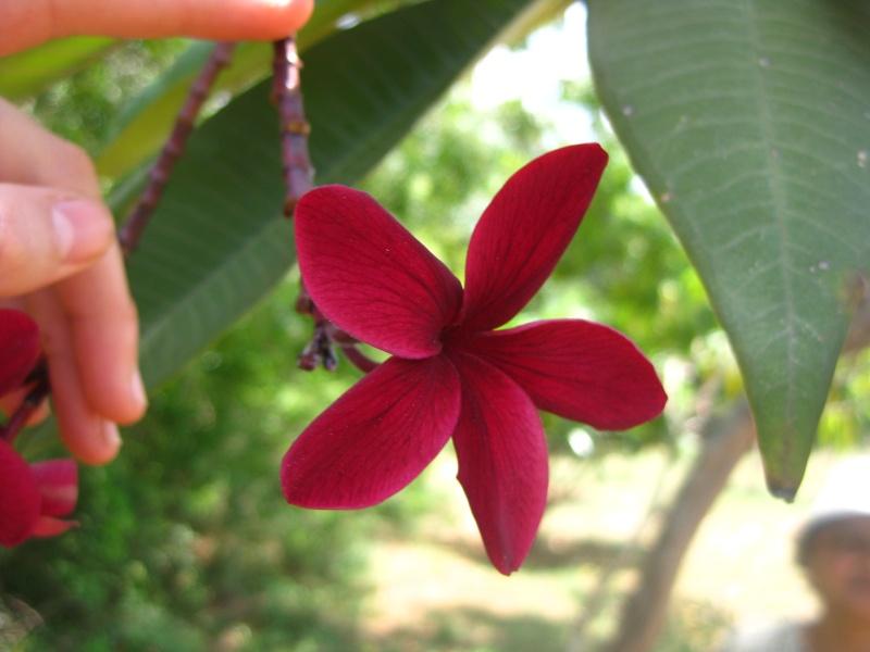 Plumerias d Auroville Img_0618