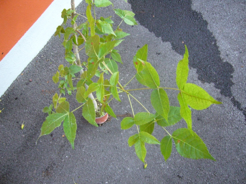 Commyphora harveyi et Boswellia neglecta P1100521