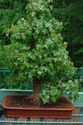 Photo d'arbre Bonsai11