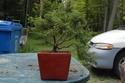 une bonne idee de bonsai Dsc_0012