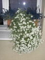 Fleurs pour balcon Cimg1217
