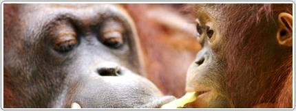 """Kalaweit: préservation des gibbons """" indonésie """" déforestation pour huile de palme, disparition des orang Outans 2ca51311"""