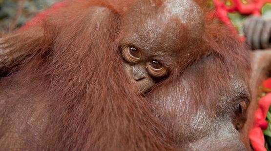 """Kalaweit: préservation des gibbons """" indonésie """" déforestation pour huile de palme, disparition des orang Outans Borneo10"""