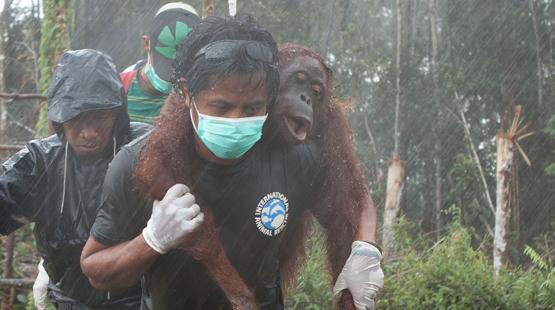 """Kalaweit: préservation des gibbons """" indonésie """" déforestation pour huile de palme, disparition des orang Outans Borneo11"""
