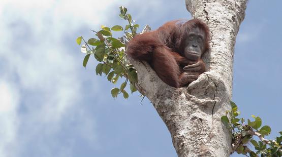 """Kalaweit: préservation des gibbons """" indonésie """" déforestation pour huile de palme, disparition des orang Outans Borneo13"""
