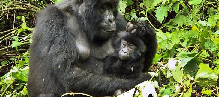"""Kalaweit: préservation des gibbons """" indonésie """" déforestation pour huile de palme, disparition des orang Outans Kongo-10"""