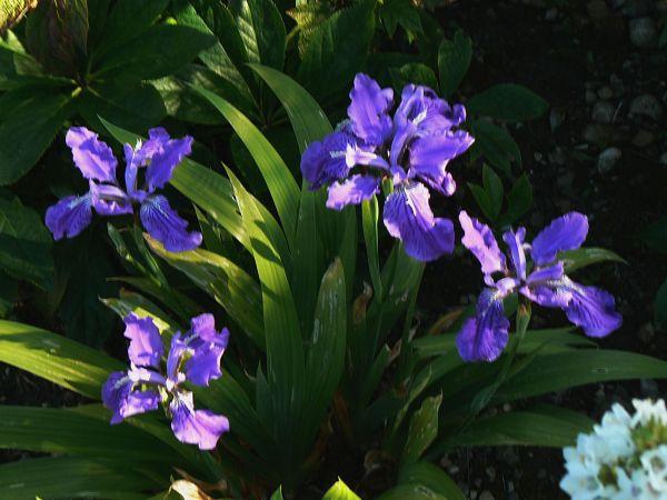 Iris chamaeiris et Iris tectorum Iris_t10