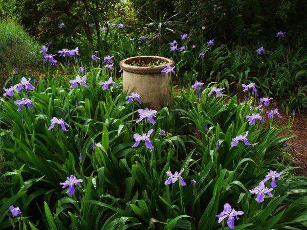 Iris chamaeiris et Iris tectorum Iris_t11