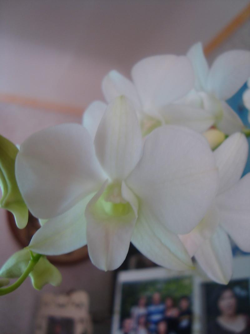"floraison de mon Dendrobium ""snow star"" Dada_415"