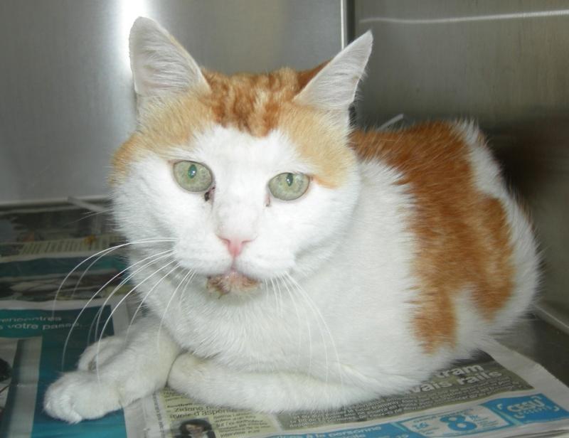 trouvé chat blanc et roux environ 5 à 6 ans Chat_r11