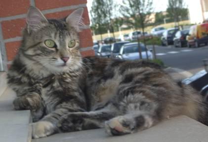 Trouvé à Colomiers chatte tigrée poil mi-long fin juin 2009 Clip_i10