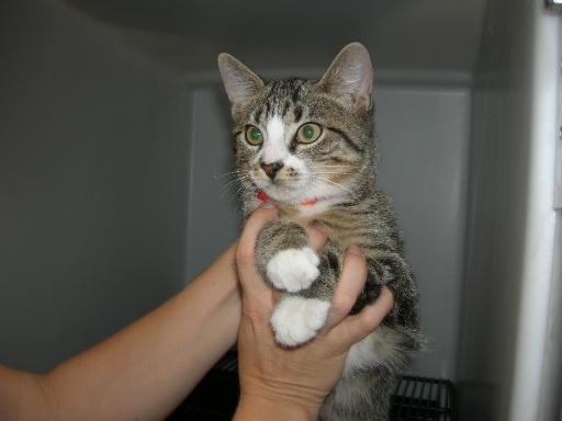 trouvé chaton tigré au collège Victor Hugo à Colomiers Dscn3212