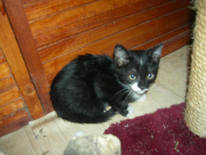 Trouvé chatte tigrée grise à la Naspe Egmar10