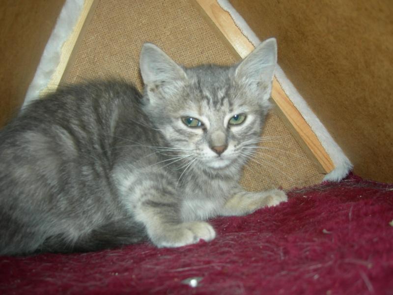 Trouvé chatte tigrée grise à la Naspe Egmara10