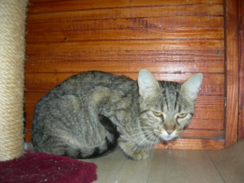 Trouvé chatte tigrée grise à la Naspe Egmari10
