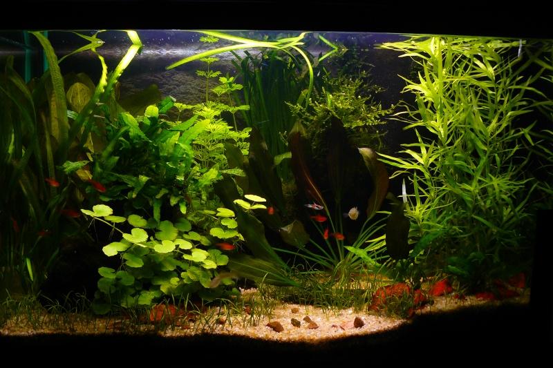 Mon aquarium de 54 litres P1030010