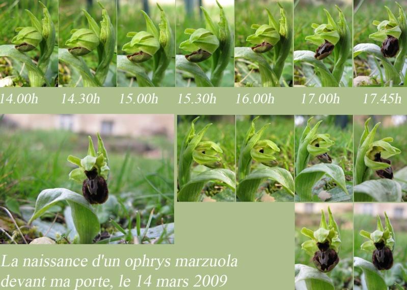 Ophrys exaltata marzuola (Ophrys de Mars ) Naissa10
